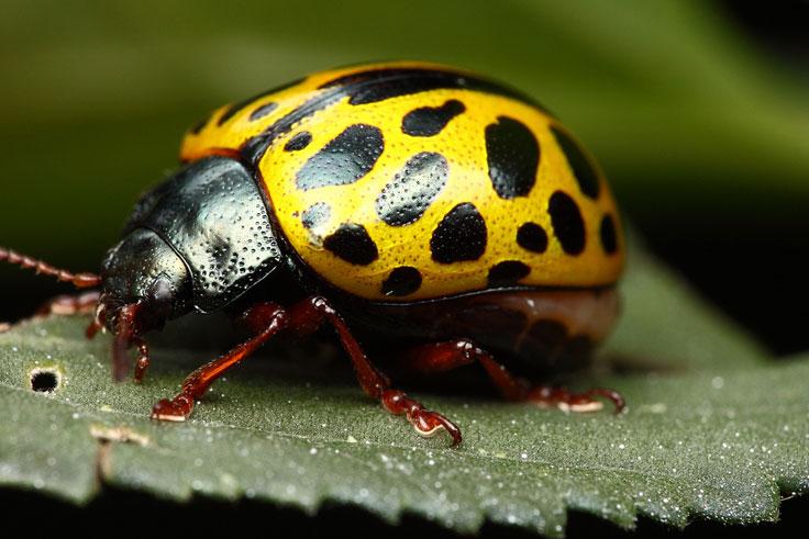 Tre bug ninph