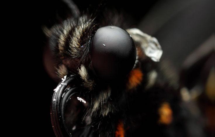 Yellow neck moth