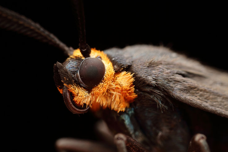 Robber Fly (Ommatius sp) with orange ant