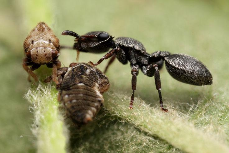 Leafcutter ants II