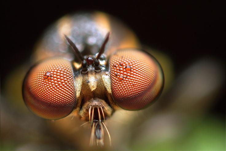 Bibionidae_side view
