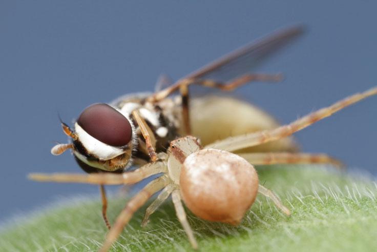 Jumper spider body