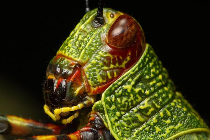 Mantis fly