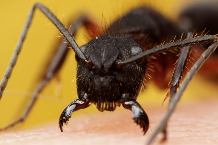 Ant Mutualism