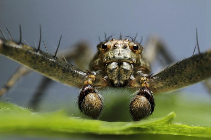 Male spider portrait