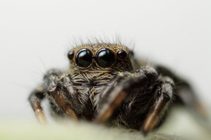 Salticidae portrait
