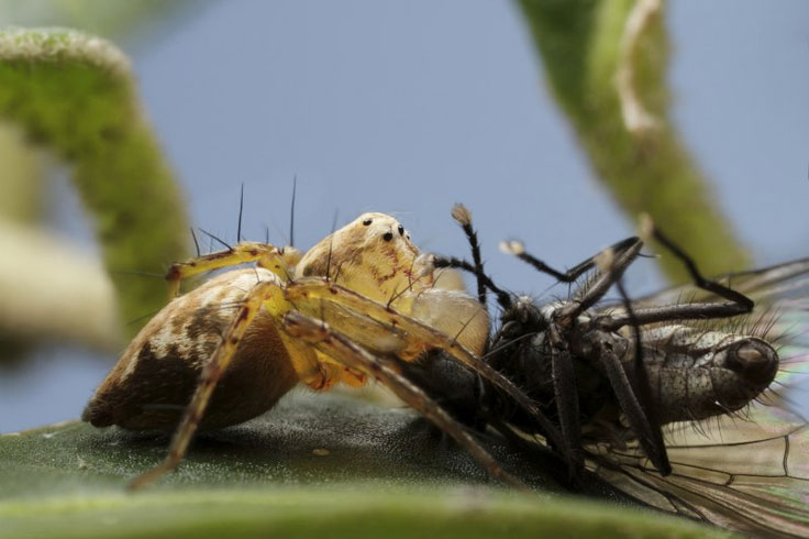 Lynx spider vs fly