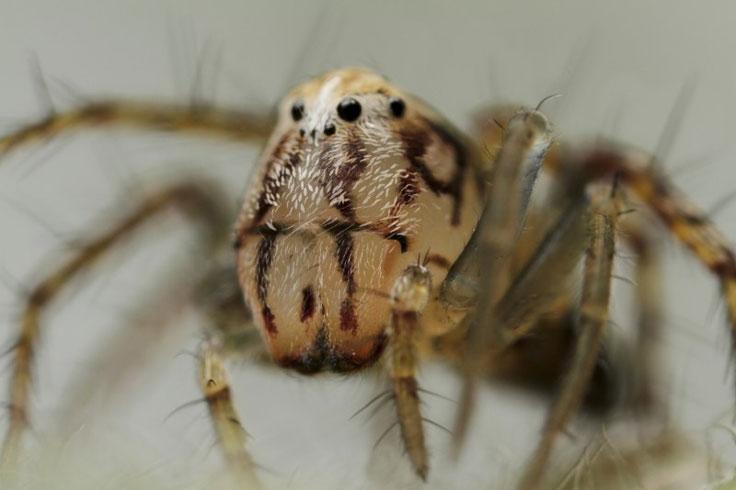 Lynx spider portrait