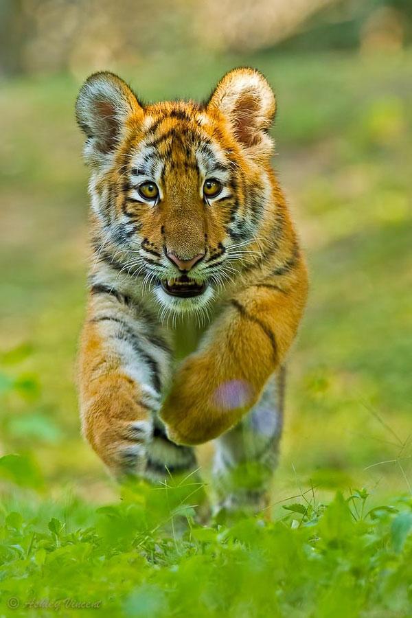 Tiger Photography - Edge of Extinction