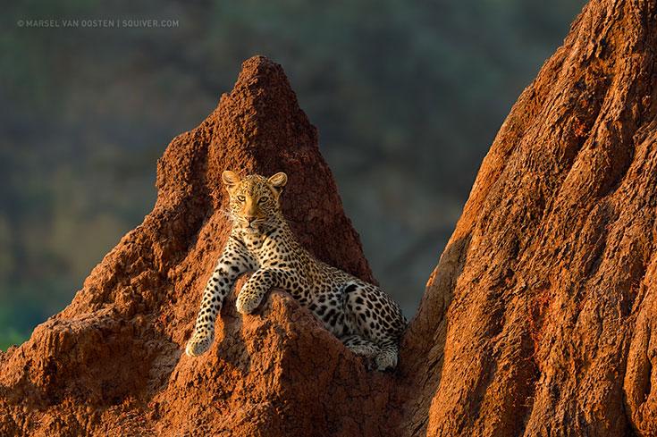 Majestic Leopard on Safari