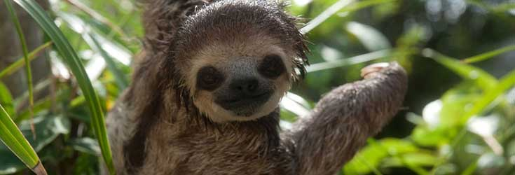 Woman who Saved and Living with 200 Sloth [Cuteness Overload]